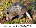 Young Armadillo Digging For...