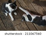 Stock photo two cats playing together 211067560