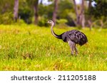 Cute Emu In Pantanal  Brazil