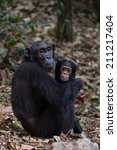 Female Eastern Chimpanzee With...