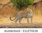 Alert Leopard  Panthera Pardus...