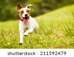 Stock photo jack russel parson dog run toward the camera low angle high speed shot 211592479