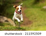 Stock photo jack russel parson dog run toward the camera low angle high speed shot 211592509