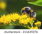 Bumblebee  Bombus Pascuorum  On ...