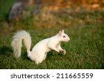Rare White Squirrel Feeding On...