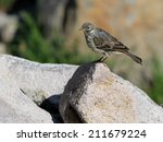 Small photo of American Pipit on a Rock