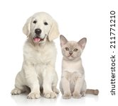Stock photo cat and dog together golden retriever puppy and burmese kitten on white background 211771210