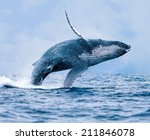 humpback whale  megaptera... | Shutterstock . vector #211846078