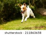 Stock photo jack russell parson terrier running toward the camera low angle high speed shot 211863658