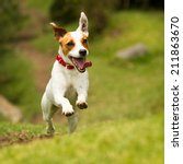 Stock photo jack russel parson dog run toward the camera low angle high speed shot 211863670