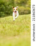 Stock photo jack russel parson dog run toward the camera low angle high speed shot 211863673