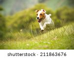 Stock photo jack russel parson dog run toward the camera low angle high speed shot 211863676