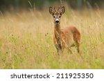Young Roe Deer Buck   Capreolu...