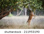 axis axis deer. india | Shutterstock . vector #211953190