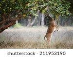 Axis Axis Deer. India