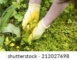 picking weeds | Shutterstock . vector #212027698