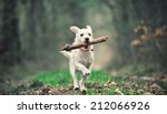 Stock photo white puppy running with a stick 212066926
