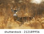 a white tailed deer buck in... | Shutterstock . vector #212189956