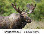 A Bull Moose In Velvet.