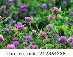 Trifolium Pratense. Thickets O...