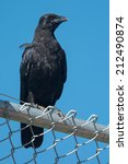 Small photo of American Crow perched on a chain link fence.