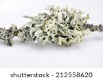 Tube Lichen Hypogymnia Physodes