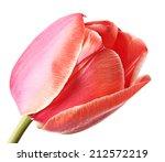 Close Up Single Tulip Flower...