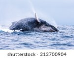a humpback whale  megaptera...   Shutterstock . vector #212700904
