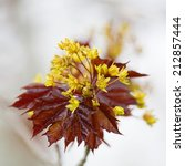 Small photo of Flower of a red maple, Acer rubrum, in the early spring.