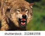 Small photo of Snarling Grey Wolf