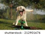 Young Labrador Retriever...