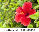 Red Hibiscus Flower With Leave...