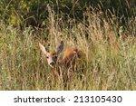 curious wild roe deer hind  ... | Shutterstock . vector #213105430