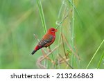 bird red avadavat   amandava...   Shutterstock . vector #213266863