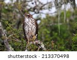 Small photo of African Goshawk perched on a branch