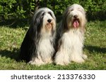 Bearded Collie Sitting Togethe...