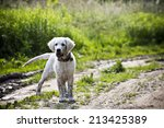 Stock photo fun golden retriever dog playing in the mud 213425389