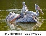 pelecanus crispus    Shutterstock . vector #213494830