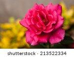pink rose grow in the garden. | Shutterstock . vector #213522334