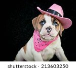 Stock photo cute little bulldog puppy dressed up like a cowgirl with copy space on a black background 213603250