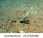 Small photo of A snake blenny (Xiphasia setifer, blenniidae) in the open on sand