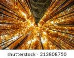 Big Beech Trees In Autumnal Wood