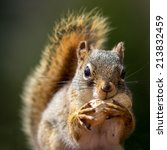 Close Up Of Squirrel Eating A...