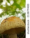 Small photo of Blusher; Amanita rubescens, atlas photo