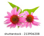 Coneflower With Leaves ...