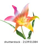 colorful tulip  isolated on... | Shutterstock . vector #213931384