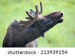 Small photo of Portrait of a roaring Moose bull (Alces alces)