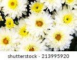 fall mums   Shutterstock . vector #213995920