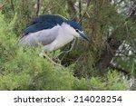 Black Crowned Night Heron On A...
