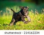 Miniature Schnauzer Puppy...